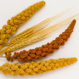 Two stalk of wheat, two twig yellow millet and one red millet  t Royalty Free Stock Images