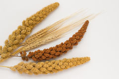Two stalk of wheat, two twig yellow millet and one red millet. Twig on a white background Stock Photos