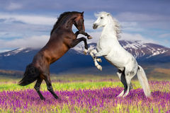 Two stallion play Royalty Free Stock Images