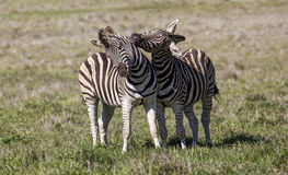 Two stallion zebras fighting. Stock Photo