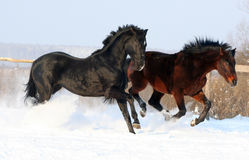 Two stallions Royalty Free Stock Photo