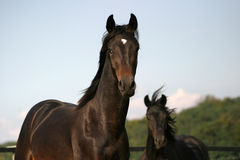 Two stallions Stock Images
