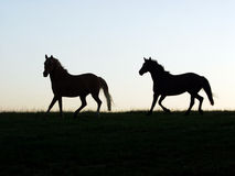 Two Stallions. Two Horses in the Field royalty free stock image