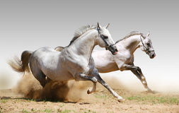 Two stallions in dust. On grey Royalty Free Stock Images