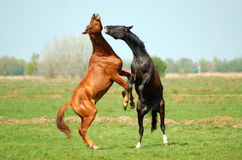 Two Stallions in fight Royalty Free Stock Photos