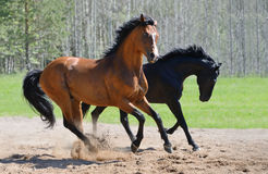 Two stallions gallop on manege. Bay stallion of Ukrainian riding breed and black stallion of Russian riding breed Stock Photo