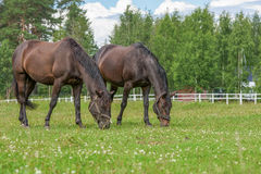 Two stallions grazing on a green summer pasture Royalty Free Stock Images