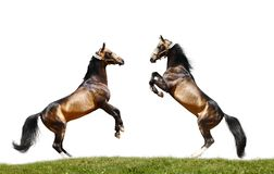 Two stallions isolated. On white Royalty Free Stock Image