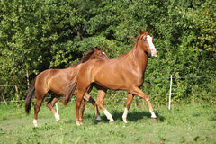 Two stallions moving on pasturage Royalty Free Stock Photography