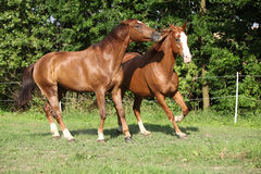 Two stallions moving on pasturage Stock Photography