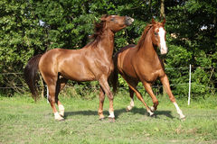 Two stallions moving on pasturage Royalty Free Stock Images