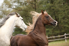 Two stallions playing on pasturage Stock Image