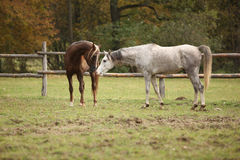 Two stallions playing on pasturage Royalty Free Stock Photos