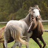 Two stallions playing on pasturage Stock Photography