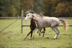 Two stallions playing on pasturage Royalty Free Stock Photo