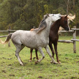Two stallions playing on pasturage Stock Photos