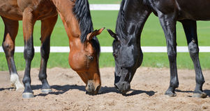 Two stallions smell sand. In an manege Royalty Free Stock Photography