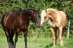 Two stallions standing on pasturage Stock Photos