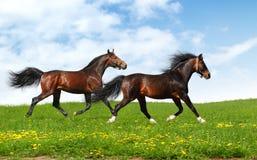 Two stallions trot. Realistic photomontage Royalty Free Stock Photos