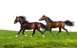 Two stallions trot Royalty Free Stock Images