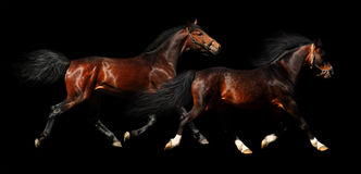 Two stallions trot. Isolated on black Stock Photo