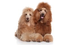 Two Standard Poodles Royalty Free Stock Photos