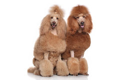 Two Standard Poodles. Two red and apricot Standard Poodles on white background royalty free stock images