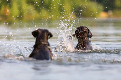 Two Standard Schnauzer dogs in a lake. One with a wooden stick in the snout Stock Photo