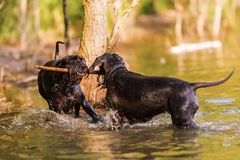 Two Standard Schnauzer dogs in the water Royalty Free Stock Images
