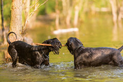 Two Standard Schnauzer dogs in the water Stock Photo