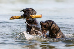 Two Standard Schnauzer dogs in the water. Two Standard Schnauzer dogs fighting for a wooden stick in the water Royalty Free Stock Image