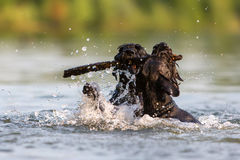 Two Standard Schnauzer dogs in the water. Two Standard Schnauzer dogs fighting for a wooden stick in the water Royalty Free Stock Photos