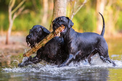 Two Standard Schnauzer dogs with a wooden stick. Two Standard Schnauzer dogs running in the water with a wooden stick Royalty Free Stock Images