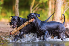 Two Standard Schnauzer dogs with a wooden stick. Two Standard Schnauzer dogs running in the water with a wooden stick Stock Photo
