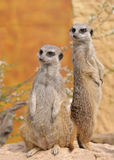 Two standing alert mercats Stock Image