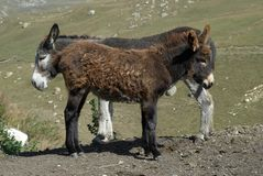 Two standing burros royalty free stock images