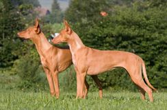 Two standing dogs in a meadow - Pharaoh Hound Royalty Free Stock Images