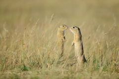 Two standing european ground squirrels Royalty Free Stock Images
