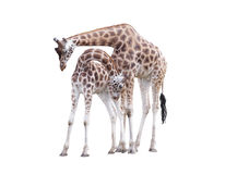 Two standing giraffes Royalty Free Stock Photography
