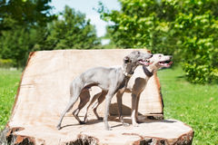 Two  standing greyhounds Royalty Free Stock Images