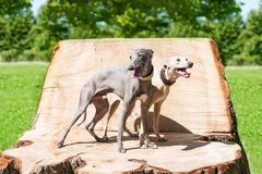 Two  standing greyhounds Stock Photo