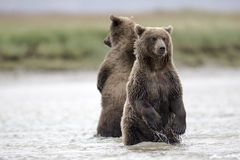 Two standing Grizzly cubs looking for Salmons in a creek. Two standing Grizzly cubs looking for Salmons in a creek, during low tide.  Photo taken on August Stock Photos