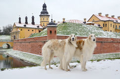 Two standing russian wolfhounds Stock Photo