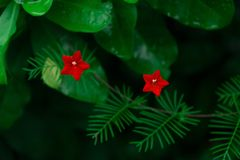 Two Star Flower stock images