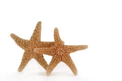 Two Starfish. Two orange starfish on white background. Starfish or sea stars are echinoderms belonging to the class Asteroidea