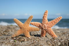 Two Starfish On Beach. Two starfish appear to frolic on the beach Stock Image