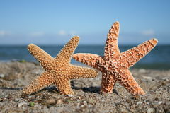 Two Starfish On Beach. Two starfish appear to hold hands on the beach Stock Photography