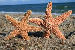 Two Starfish On Beach. Two starfish appear to hold hands on the beach Stock Photos