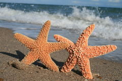 Two Starfish On Beach. Two starfish appear to hold hands on the beach Royalty Free Stock Photography