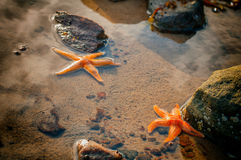 Two starfish on the beach in Karelia Royalty Free Stock Photo